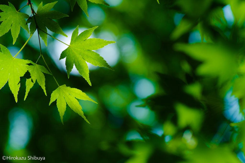 四季の森公園は紅葉の名所!新緑のモミジもまた味があって綺麗