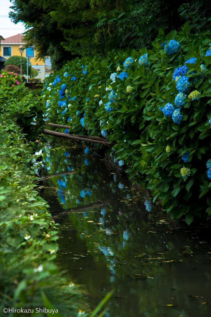 水面に映る青いあじさいが良い感じです(川口市「木洩れ日の道」にて)
