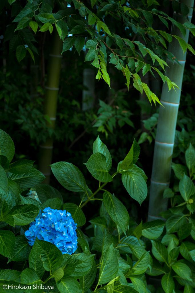 あじさいと竹林の和の組み合わせも撮影できます(川口市「木洩れ日の道」にて)