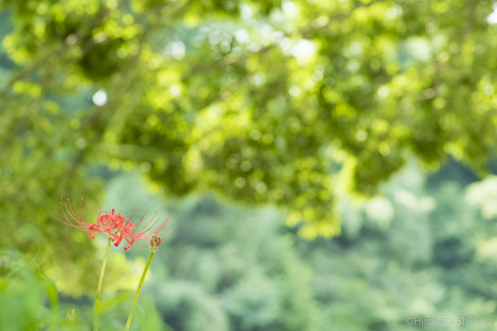 北村佑介×富久浩二写真教室 in 埼玉・巾着田② 紅一点の曼珠沙華(彼岸花)