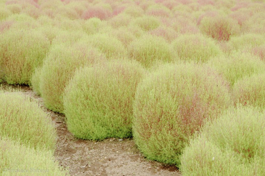 秋の武蔵丘陵森林公園④ 少し赤く染まるコキア(ほうき草)