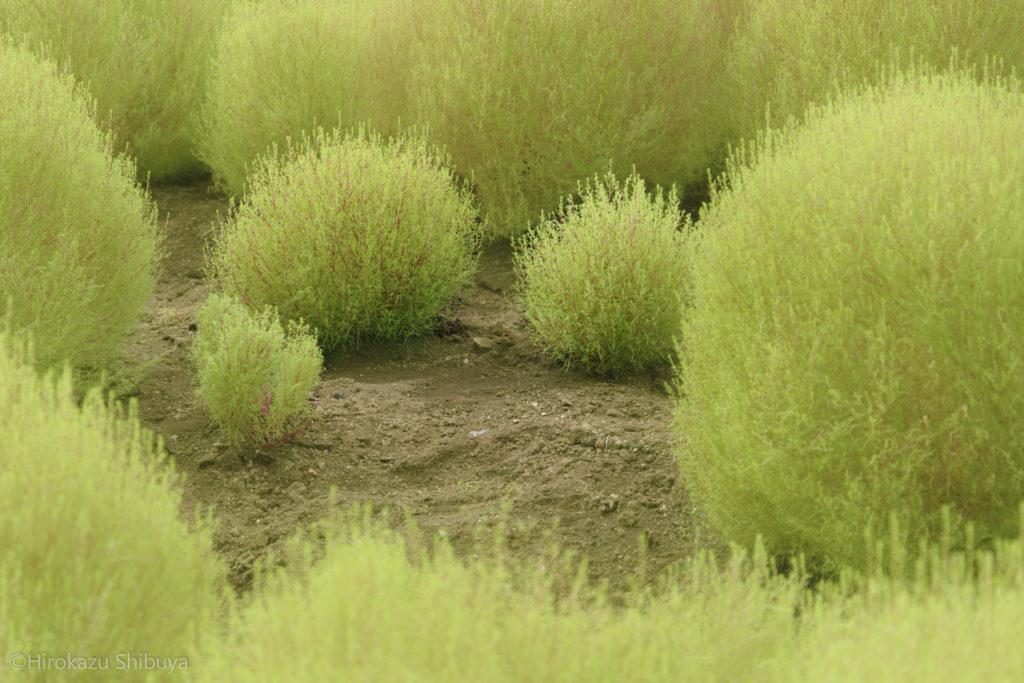 秋の武蔵丘陵森林公園⑥ コキア(ほうき草)もとい愛・地球博のモリゾーとキッコロみたいなやつらの井戸端会議w