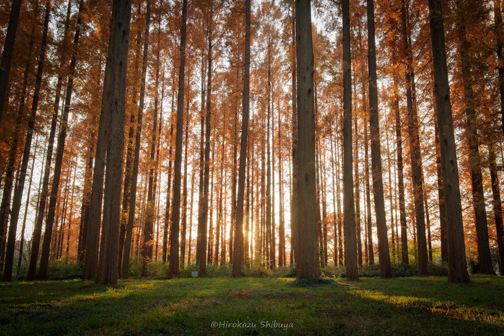夕暮れ時のメタセコイアの森(水元公園「メタセコイアの森」にて撮影)