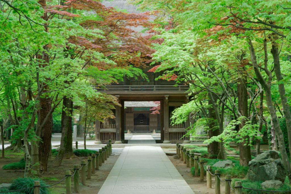 平林寺の新緑① 総門付近から山門を望む(撮影地:埼玉県新座市)