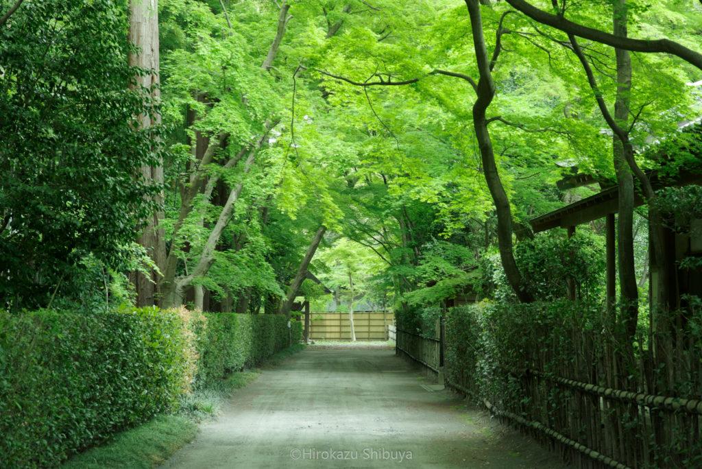 平林寺の新緑④ 竹林付近の参道を彩る新緑(撮影地:埼玉県新座市)