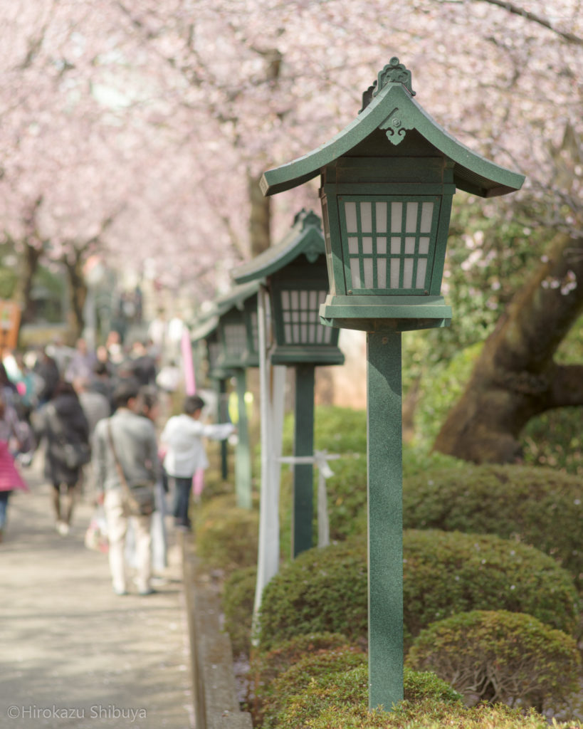 密蔵院の安行寒桜②(撮影地:埼玉県川口市)