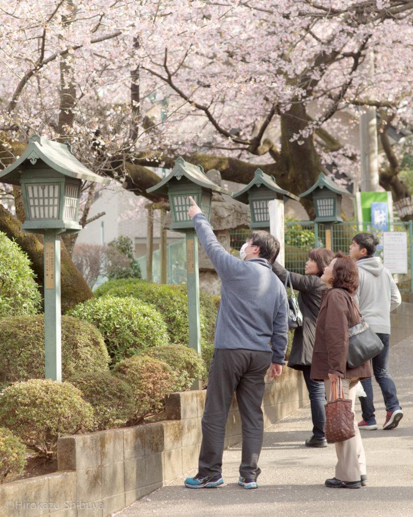 密蔵院の安行寒桜③(撮影地:埼玉県川口市)