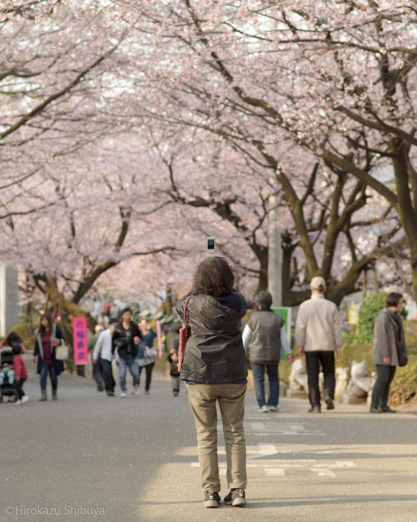 密蔵院の安行寒桜①(撮影地:埼玉県川口市)