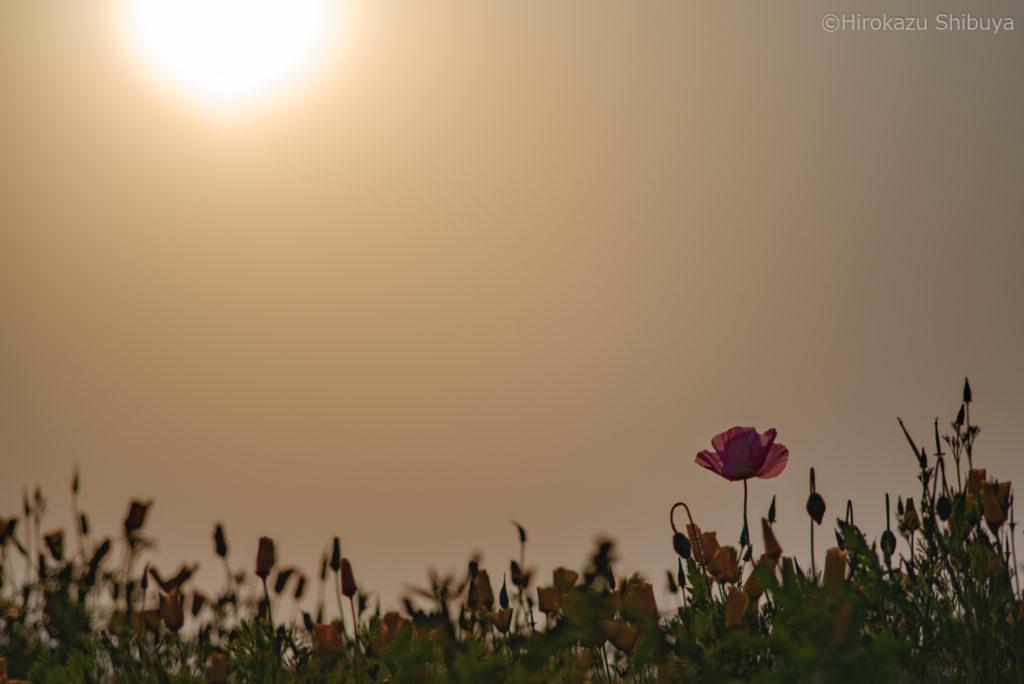 夕暮れ時に咲くシャーレーポピー(撮影地:埼玉県鴻巣市「ポピー・ハッピースクエア」)