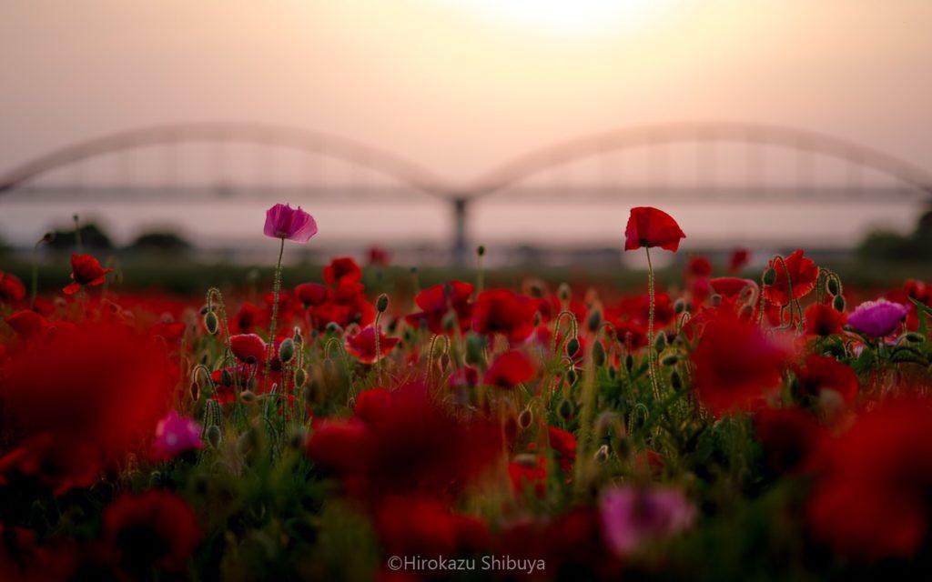 夕暮れ時に咲くシャーレーポピーと水管橋(撮影地:埼玉県鴻巣市「荒川コスモス街道」)