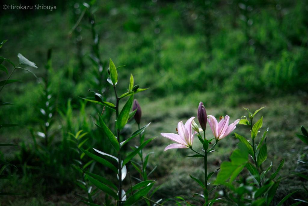 ところざわのゆり園①