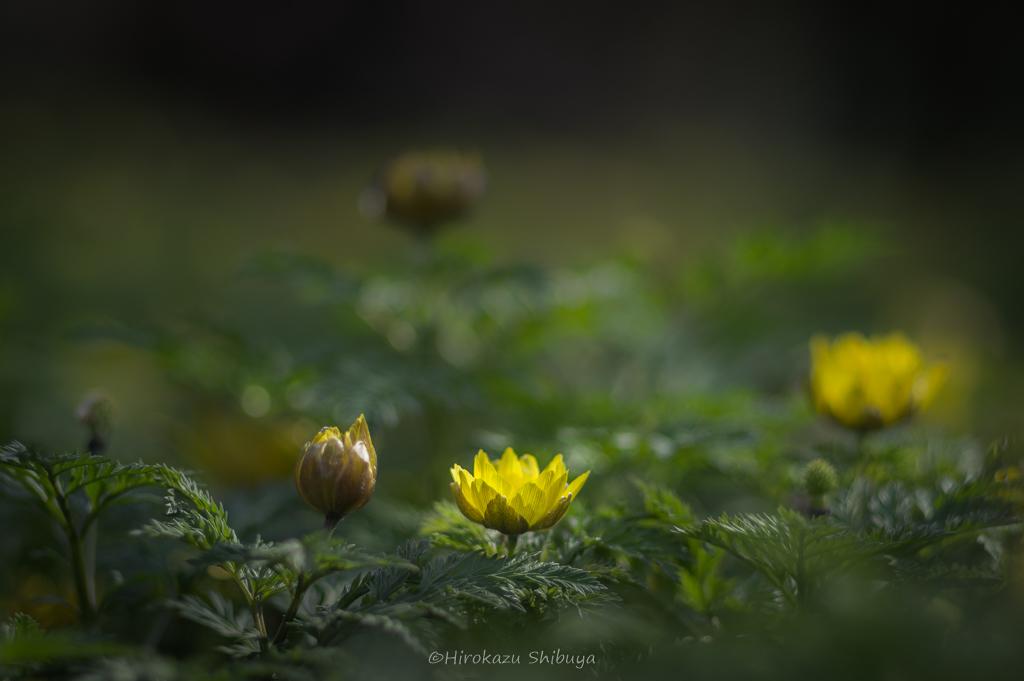 PENTAX KP+FA 77mmF1.8 Limitedによる花の写真③