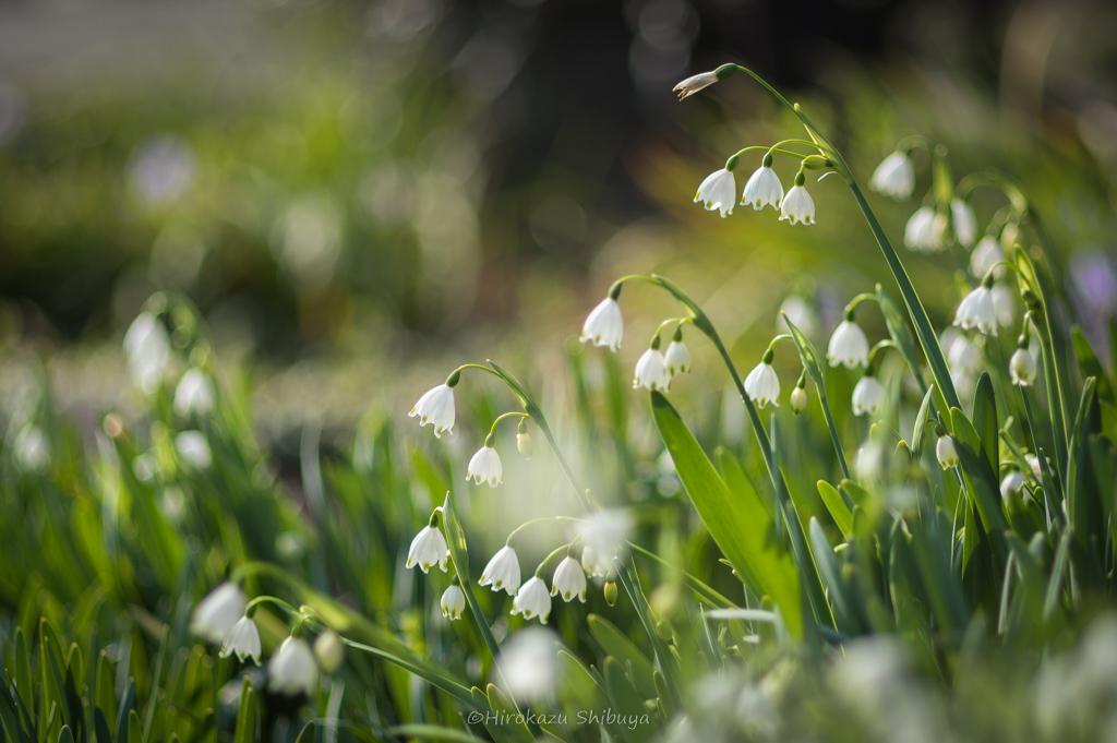 PENTAX KP+FA 77mmF1.8 Limitedによる花の写真④