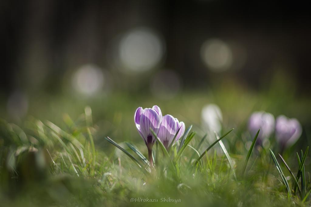 PENTAX KP+FA 77mmF1.8 Limitedによる花の写真②