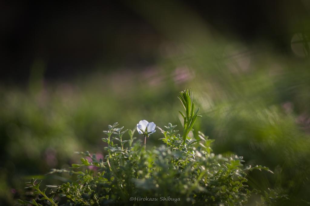 PENTAX KP+FA 77mmF1.8 Limitedによる花の写真⑤