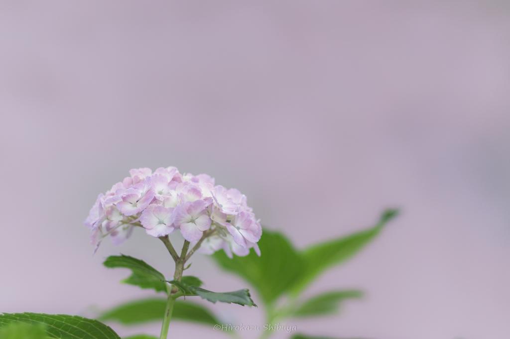 PENTAX KP+FA 77mmF1.8 Limitedによる花の写真⑥