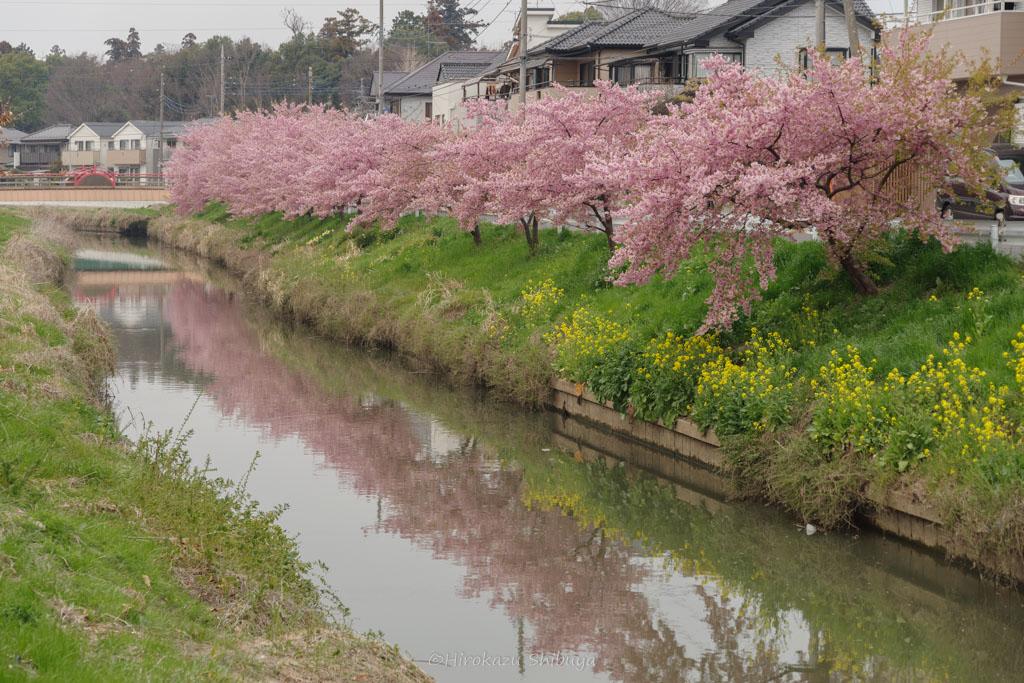 青毛堀川の河津桜①